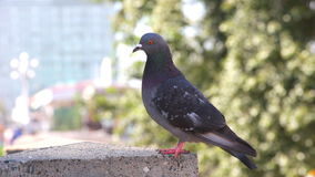 Two gray wild pigeons. Sit on a granite parapet. Pigeons are posing in front of the camera. One dove flies away stock footage