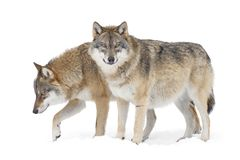 Two Gray wolves. Isolated on white background stock image