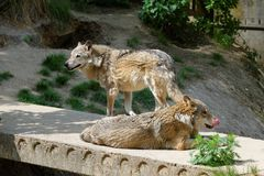 Two gray wolves in a zoo. Two gray wolves on a concrete slab in a zoo Royalty Free Stock Images