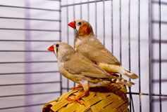 Two gray Zebra-finch bird  sitting on a basket in a cage Royalty Free Stock Photography