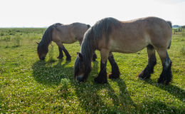 Two grazing Belgian horses Royalty Free Stock Photo