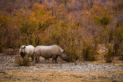 Two grazing Black Rhinos Stock Photos