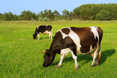 Two grazing cows in a row Royalty Free Stock Image