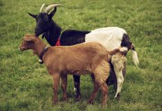 Two grazing goats Stock Image