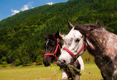 Two grazing horses close-up. Stock Photos