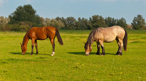 Two grazing horses in a Dutch meadow Stock Photography