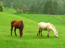Two grazing horses on a meadow. Two grazing horses on a tropical meadow in Australia Stock Photography