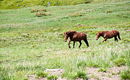 Two grazing horses  at summertime Royalty Free Stock Photo