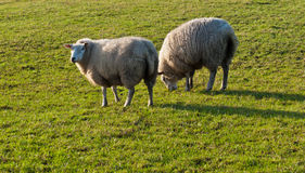 Two grazing sheep and a low sun Stock Photo