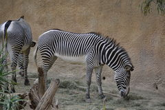Two Grazing Zebras. Two zebras grazing eating hay Stock Images