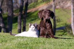 Two Great Animal Hunters. Outdoor relationship comp close up of a German Shorthaired Pointer and a white and black cat who are best friends Royalty Free Stock Images