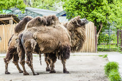 Two great big African camels with humps Stock Images