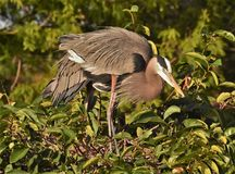 Great Blue Herons in the Tree Tops Stock Photo