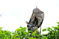 Two Great blue heron babies and adult in nest Stock Photo