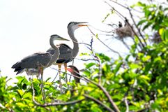 Two Great blue heron chicks standing in nest Royalty Free Stock Image