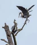 Two Great Blue Herons Stock Images