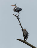 Two Great Blue Herons Stock Image