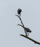 Two Great Blue Herons Royalty Free Stock Photography