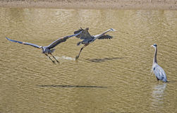 Two Great Blue Herons in flight. Stock Image