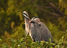 Two Great Blue Herons Royalty Free Stock Photos