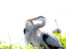 Two Great Blue Herons in nest Royalty Free Stock Image