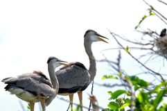 Two Great blue herons in nest Stock Photography