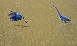 Two Great Blue Herons, one in flight. Royalty Free Stock Image