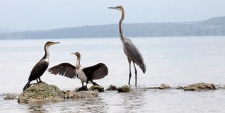 Two great cormorants and a goliath heron standing on rocks Stock Images