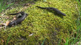 Two Great Crested Newt (Triturus cristatus) on green spring moss. Two amphibian Great Crested Newt (Triturus cristatus) on green spring moss stock video
