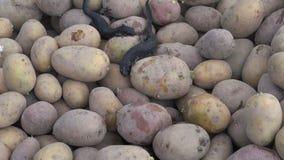 Two Great Crested Newt (Triturus cristatus) on potato in  vegetable cellar. Two Great Crested Newt (Triturus cristatus) on raw potato in farm vegetable cellar stock video footage