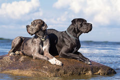 Two great dane dogs. On rock in sea Stock Images
