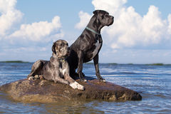 Two great dane dogs. On rock in sea Stock Image