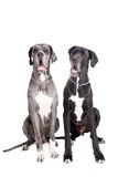 Two great Dane dogs on white Stock Photos