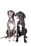 Two great Dane dogs on white Royalty Free Stock Photography