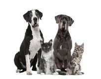 Two Great Dane and two Maine Coon Royalty Free Stock Images