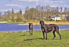 Two Great Danes by the lake Royalty Free Stock Image