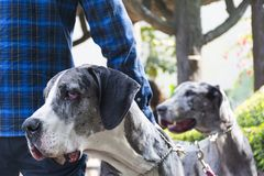 Two Great Danes Dogs Portrait on a Park. Two Great Danes on a Park being walked by their owner stock image