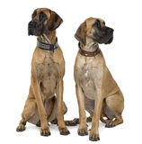 Two Great Danes, sitting and looking away. Two Great Danes, 1 year old, sitting in front of white background royalty free stock photo