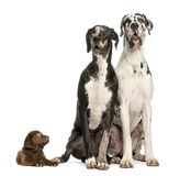 Two Great Danes sitting and looking away and puppy labrador Stock Photo