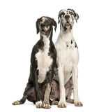Two Great Danes sitting and looking away, 1 year old Stock Photography