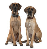 Two Great Danes sitting and looking at the camera. Two Great Danes, 1 year old, sitting in front of white background royalty free stock image