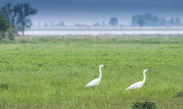 Two Great Egrets Royalty Free Stock Photography
