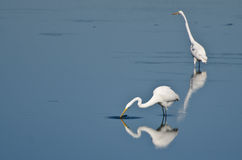 Two Great Egrets Hunting for Fish Royalty Free Stock Photo