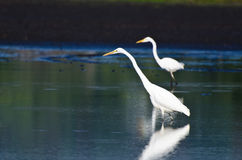 Two Great Egrets Hunting for Fish Stock Photo