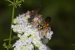 Golden digger wasp foraging for nectar on mountain mint flowers. Two great golden digger wasps, Sphex ichneumoneus, looking fierce on white flowers of the royalty free stock photo