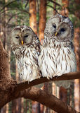 Two Great Grey Owls. On tree at pine forest Stock Photography