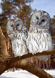 Two Great Grey Owls in winter. Two Great Grey Owls  on tree at pine forest in winter Royalty Free Stock Images