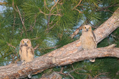 Two Great Horned Owl babies - Bubo virginianus. Two great horned owls use a  branch to watch activity near their nest in the Punta Gorda History Park.  They Stock Image