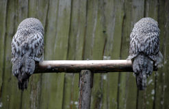 Two Great Horned Owl from backsid Stock Image