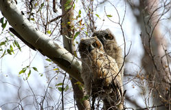 Two Great Horned Owl chicks Stock Images